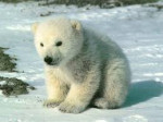 Ours ours blanc - Ours blanc Femelle (0 mois)