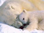 Ours ours polaire calinou - Ours blanc  (Vient de naître)