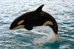 Orque Tosca - Orque Femelle (5 ans)