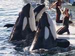 Orque marineland - Orque Femelle (4 ans)