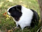 Cochon d\'Inde Bibi décédé - Mâle (5 ans)