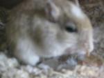 Gerbille Fjörki  (mein kleiner Schatz  ?) - Mâle (2 ans)