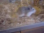 Hamster jojo - Femelle (0 mois)