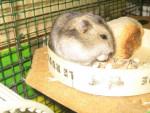 Hamster Plume - Femelle (8 mois)