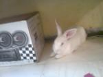 Lapin Rabito - Femelle (6 mois)
