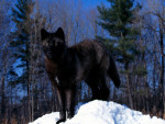 Black Wolf In Snow Pic - Loup Mâle (3 ans)