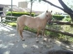 Poney lilie - Femelle (14 ans)