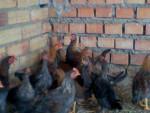 Poulet coco -  (5 mois)