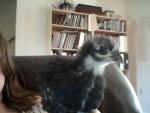 Poulet Boulder Peep - Femelle (1 mois)
