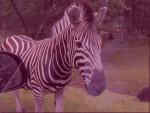 Zèbre Zebre - Femelle (10 ans)