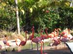 Flamingo - (2 ans)