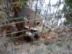 2. Einen Waschbären haben wir auch gesehen und beschnüffelt. Er mochte uns nicht wirklich... -