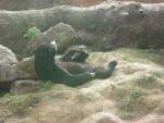 Ours [Touroparc] Farniente d'un ours -  Femelle (0 mois)