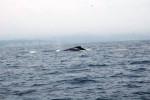 Baleine Wally -  Femelle (Vient de naître)