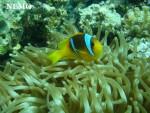 Poisson Nemo -  Mâle (1 mois)